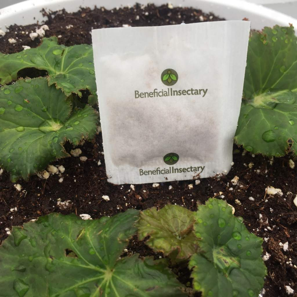 Beneficial Insectary packet in begonia hanging basket