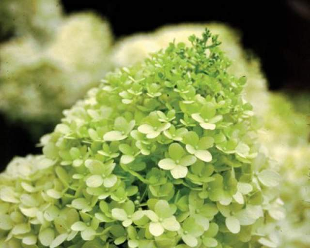 2020 September Saturdays presents: Hydrangea class video by Jeff Fabian