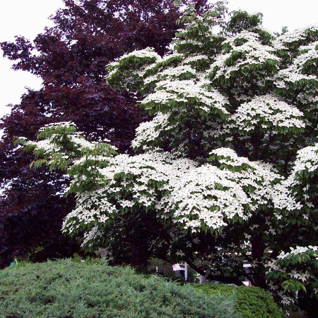 Kousa Dogwood – stunning front yard tree