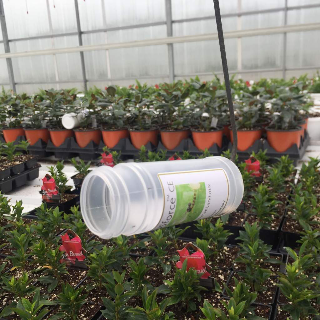 Beneficial Insectary jar suspended above mandevilla plants