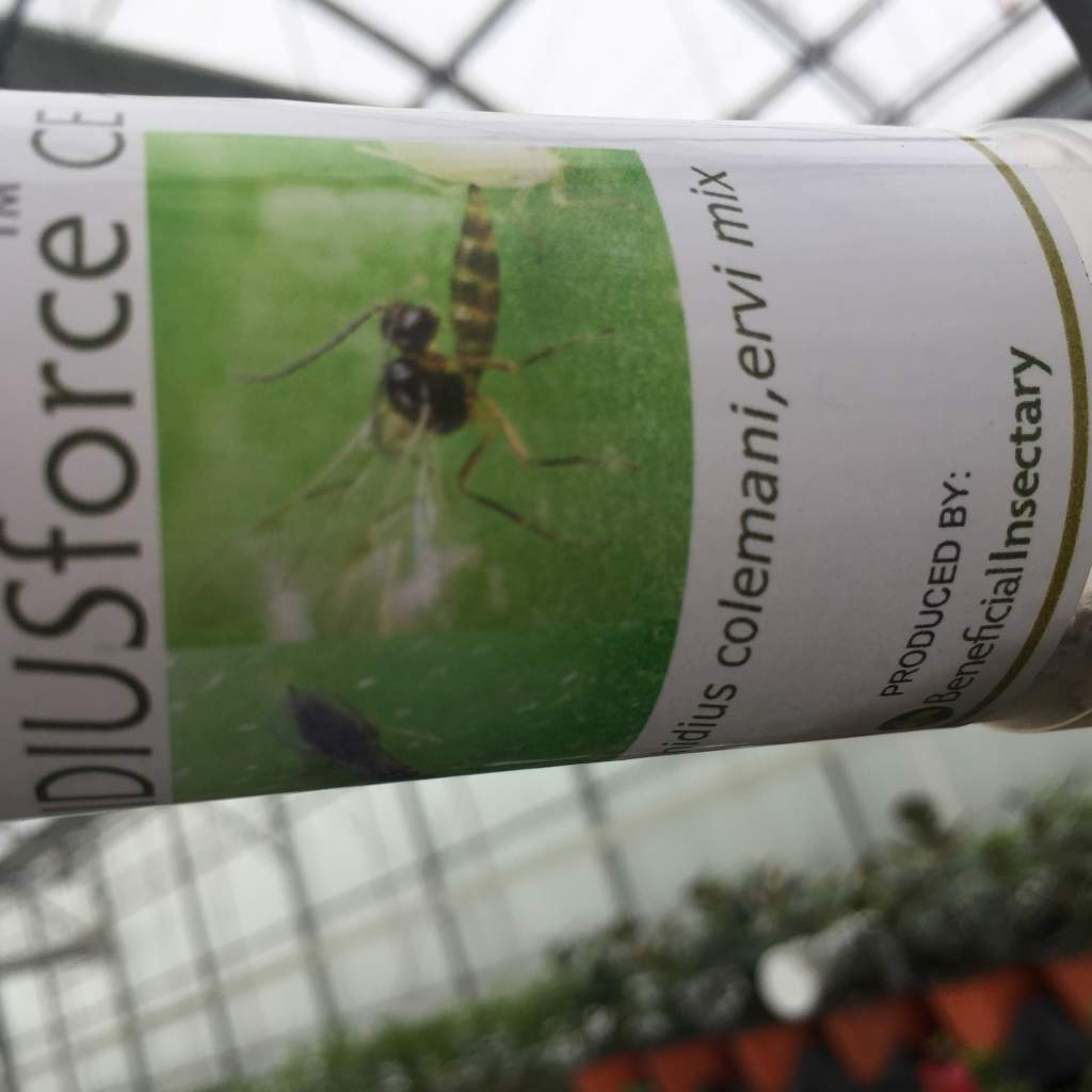 Beneficial Insectary jar hanging on a hook in greenhouse that is used to release beneficial flying wasps.