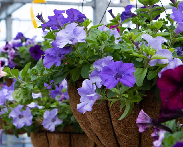 Beautiful Hanging Baskets for Spring and Summer!