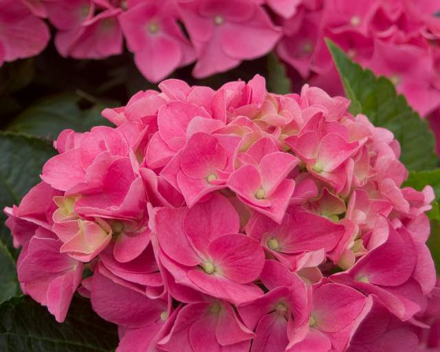 Hydrangeas Demystified